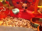 The Hannah and Annagrace show littlest pet shops