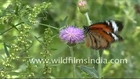 Butterfly on an Albizzia